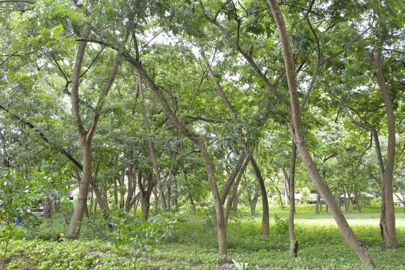 Trees grown in the premises of the Municipal Hall of Matanao, Davao del Sur, Philippines stock photos