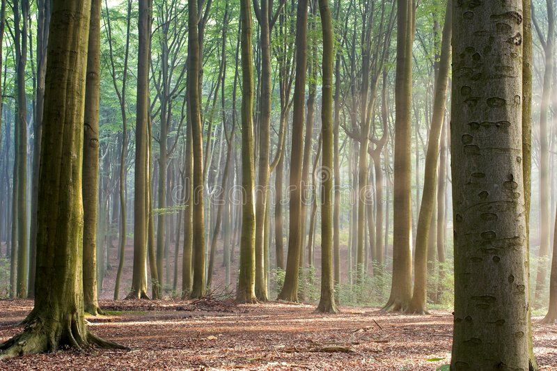 Download Through The Trees - Hazy Forest Morning Stock Photo - Image of autumn, fall: 275122