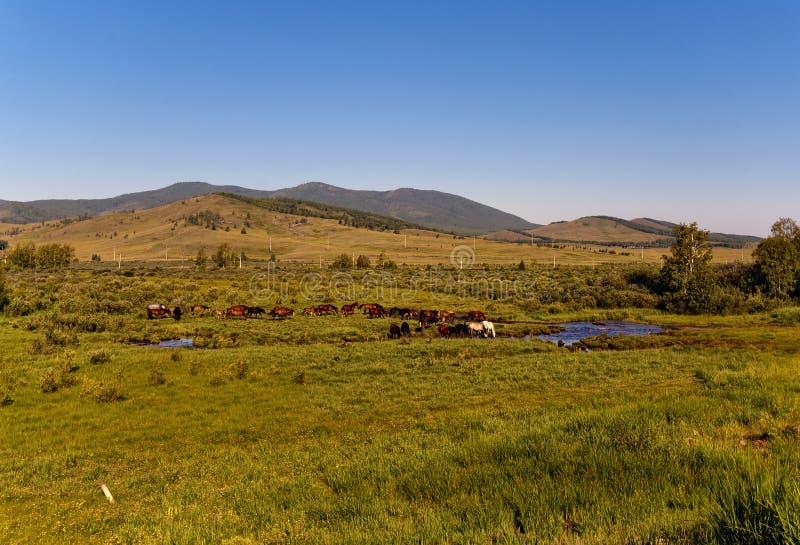 Trees&hills, céu azul, um rebanho dos cavalos, angra, verão, Sibéria, Rússia, Hakasia fotografia de stock royalty free