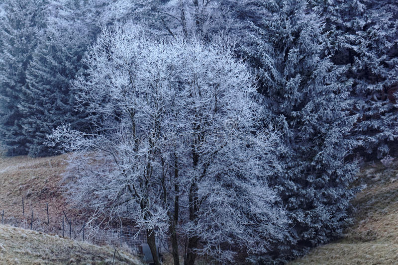 Trees with hoar frost. In the late evening royalty free stock image