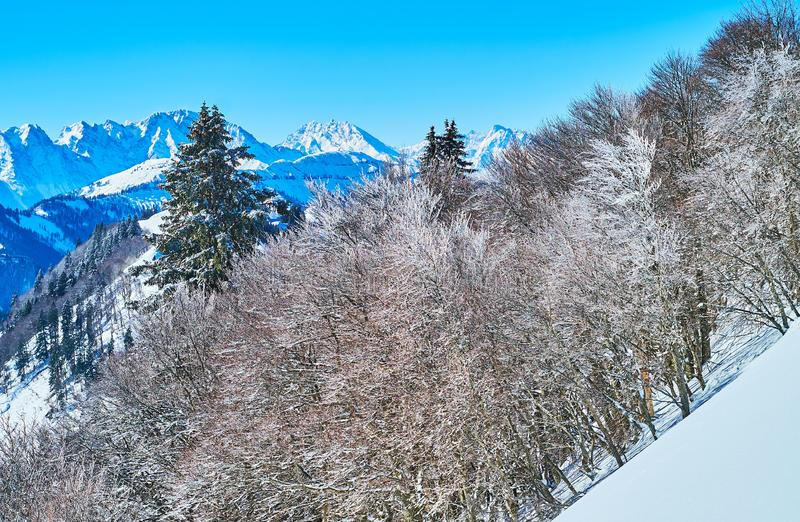 The trees in hoarfrost, Zwolferhorn, St Gilden, Salzkammergut, Austria. The lush forest grows on steep Zwolferhorn slope, the trees are coated with hoarfrost and royalty free stock photo