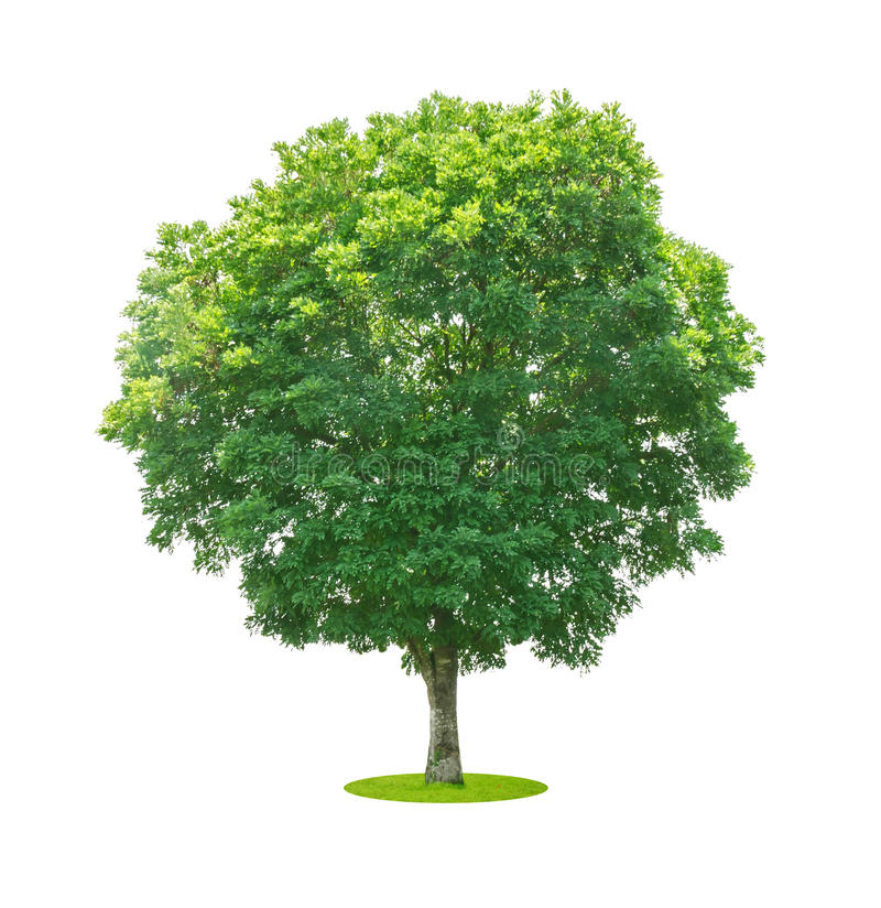 Trees isolated on white royalty free stock image