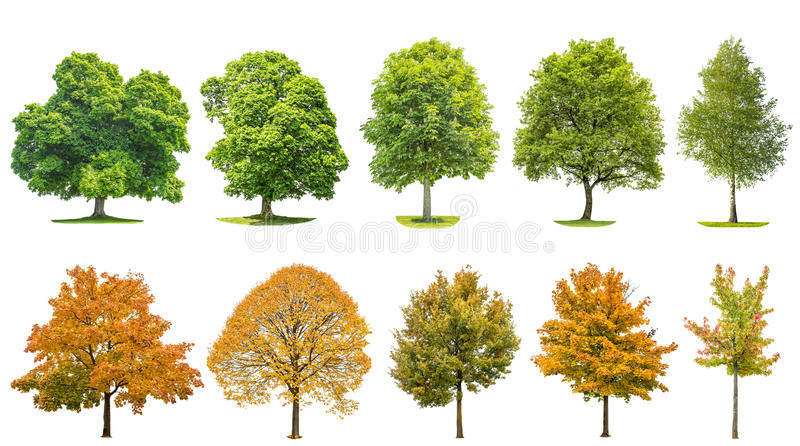 Trees isolated white background Oak maple linden birch stock photography