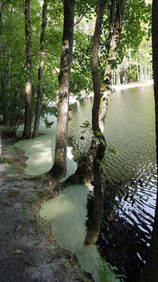 Trees and Lake. Algae, nature, parks royalty free stock image