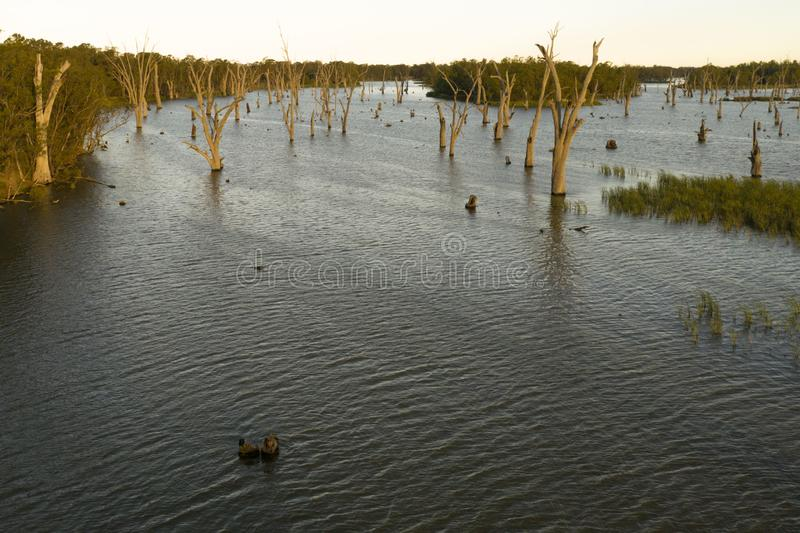 Trees in Lake Mulwala Australia. Lake Mulwala was formed by damming the Murray and flooding the adjacent countryside. Flooded trees have subsequently died stock photo