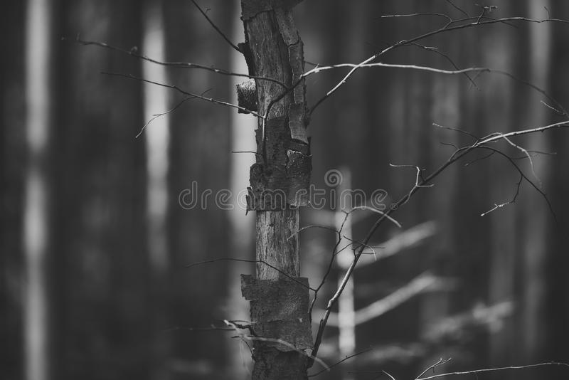 Trees without leaves in forest illuminated by sun. Nature concept. Old, dry trees in autumn forest under sunlight royalty free stock image
