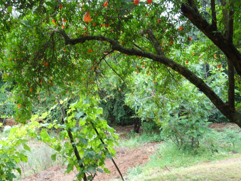 Trees with long branches - Front view. Trees with long branches. The branches have beautiful green sheets. At the top of the tree, there are flowers oranges, or stock photos
