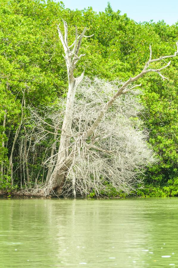 Trees in a mangrove lagoon royalty free stock photography