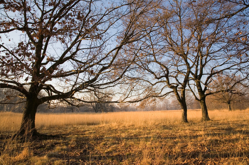 Trees on meadow royalty free stock photo