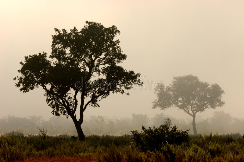 Trees in mist, Kruger Park, South Africa royalty free stock images
