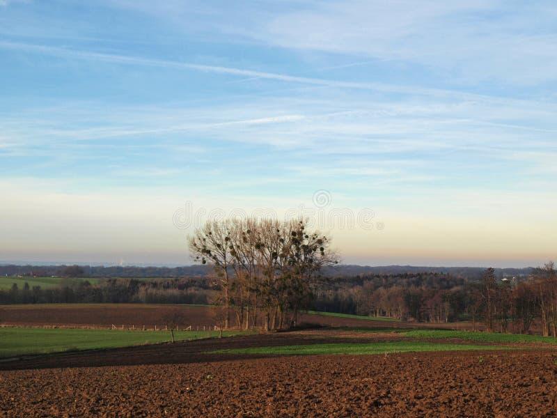 Trees with mistletoe in farmland stock photo