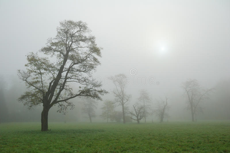 Trees in a misty morning meadow stock photo