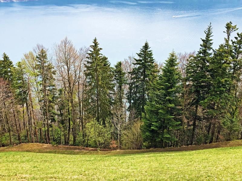 Trees and mixed forest in early spring on the slopes between the Lucerne lake and the Gersauerstock peak. Canton of Schwyz, Switzerland royalty free stock photo