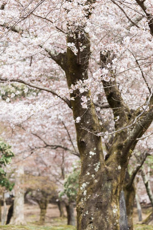 Nara Park During Spring Cherry Blossom Festival royalty free stock images