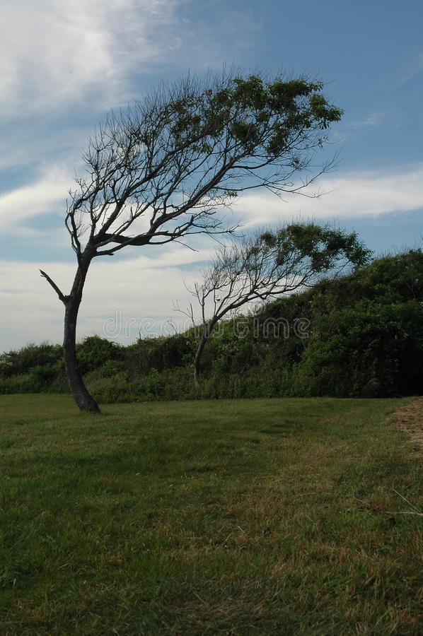 Trees near Beavertail lighthouse Aerodynamic. Trees bent permanently by the wind near Beavertail lighthouse, Jamestown, Rhode Island stock photos