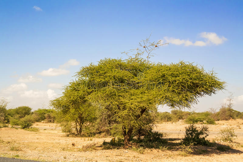 Trees near Namanga border between Tanzania and Kenya. Landscape in Tanzania near the border with Kenya on the way to Arusha stock images