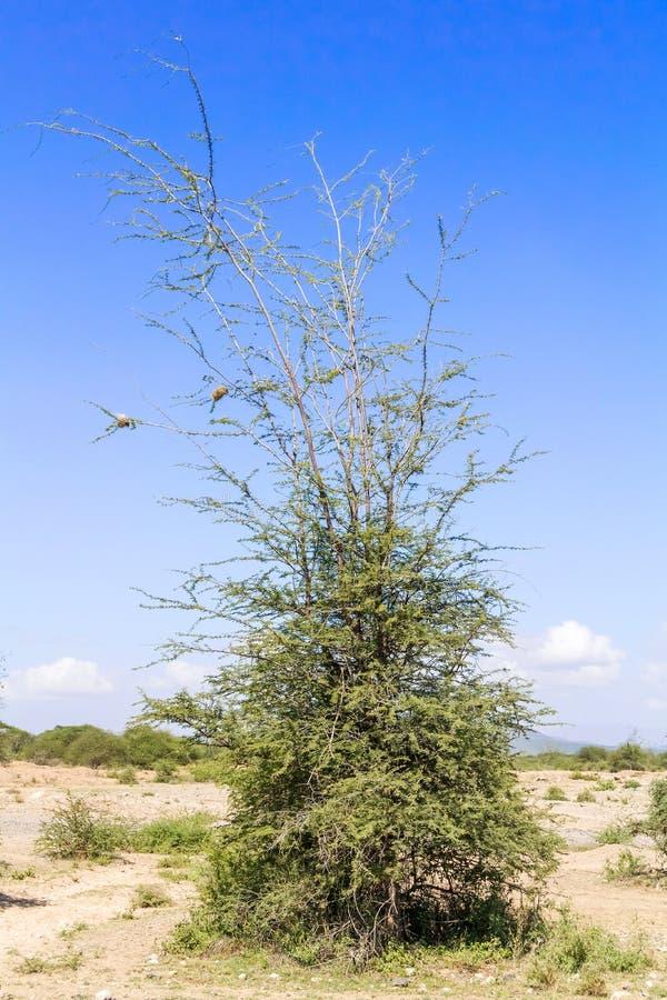 Trees near Namanga border between Tanzania and Kenya. Landscape in Tanzania near the border with Kenya on the way to Arusha royalty free stock image