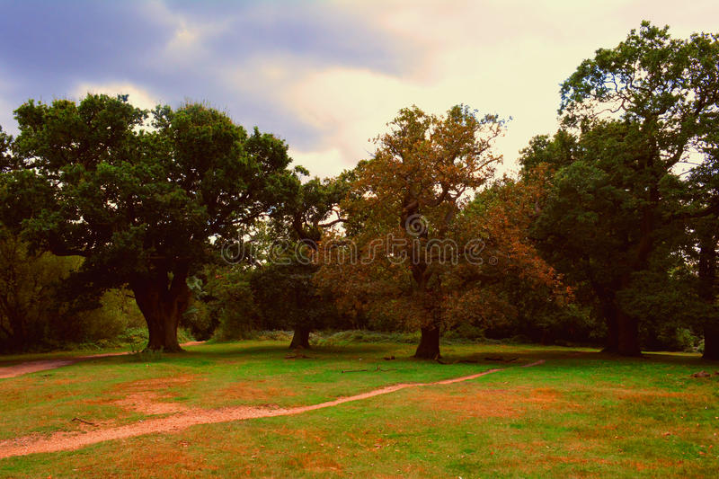 Trees Oaks in the Park in autumn (Epping Forest) stock image