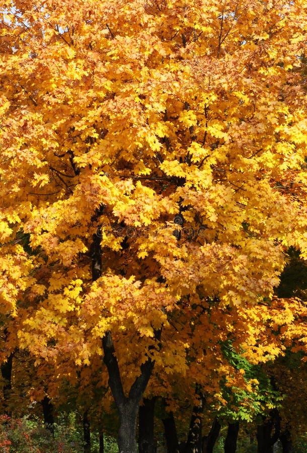 Download Trees in park at fall stock image. Image of seasonal - 34400275