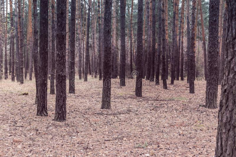 Trees in a pine forest in autumn stock image