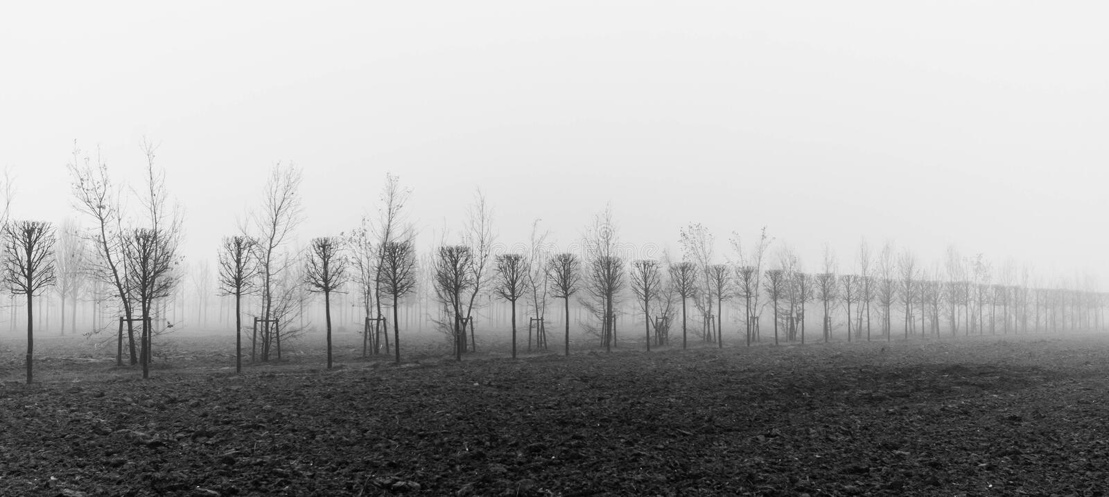 Trees at a plantation disappear in morning fog. Monochrom picture stock image