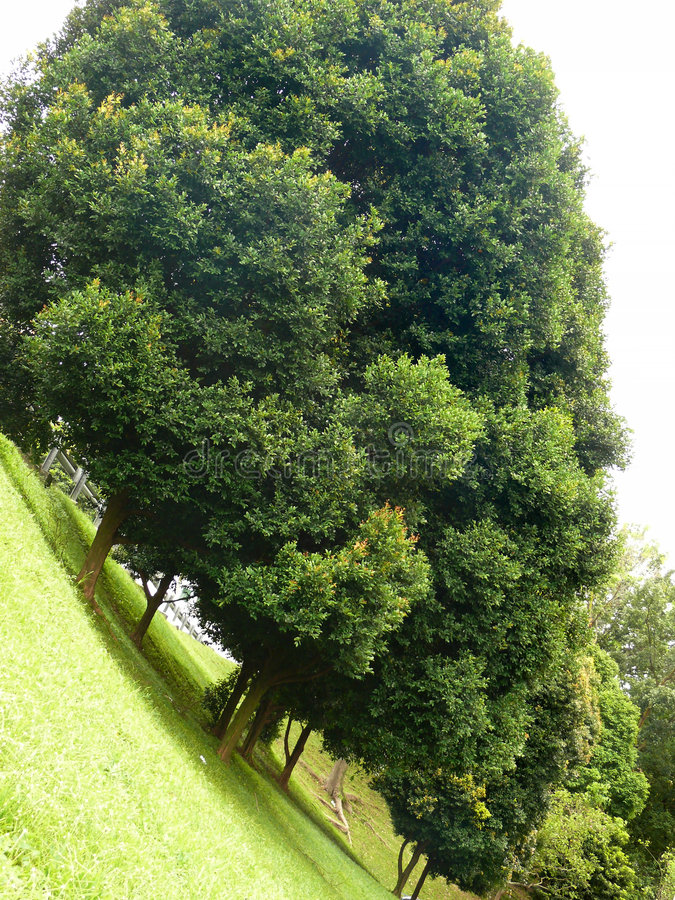 Download Trees Planted In A Row On A Steep Slope Stock Image - Image of thick, slope: 8624865