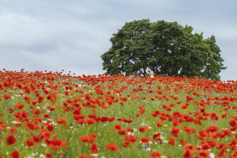 Trees in poppy field in summer time royalty free stock photography