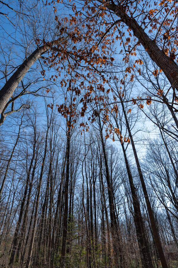 Tall Trees Reaching for the Sky. Wide angle vertical photo looking up at growing trees in a wooded area royalty free stock photo