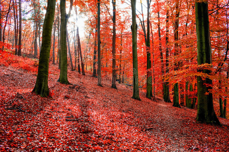 Trees with red autumn leafs in Sonian Forest stock photos