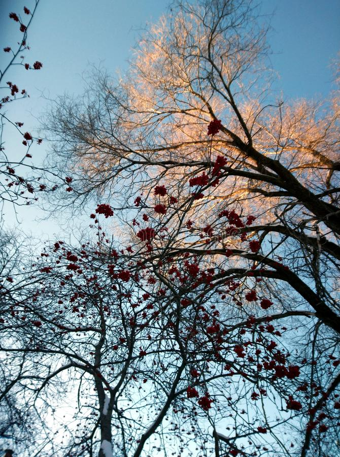 Trees in red berries on background of sky royalty free stock photos