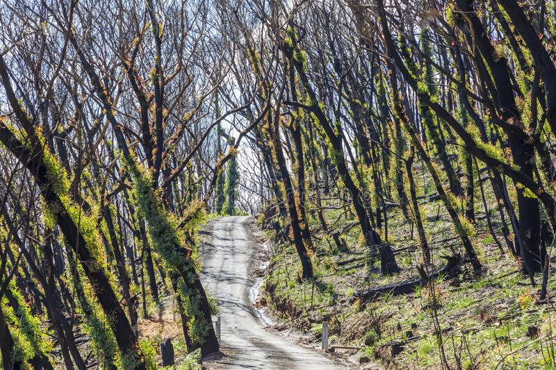 Trees regenerating in The Blue Mountains in Australia after the severe bush fires. Trees regenerating in The Blue Mountains in Australia after bush fires royalty free stock photography