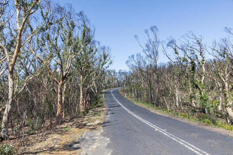 Trees regenerating in The Blue Mountains in Australia after the severe bush fires. Trees regenerating in The Blue Mountains in Australia after bush fires royalty free stock photos