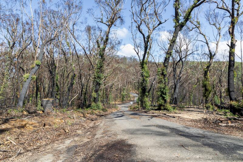 Trees regenerating in The Blue Mountains in Australia after the severe bush fires. Trees regenerating in The Blue Mountains in Australia after bush fires royalty free stock photo