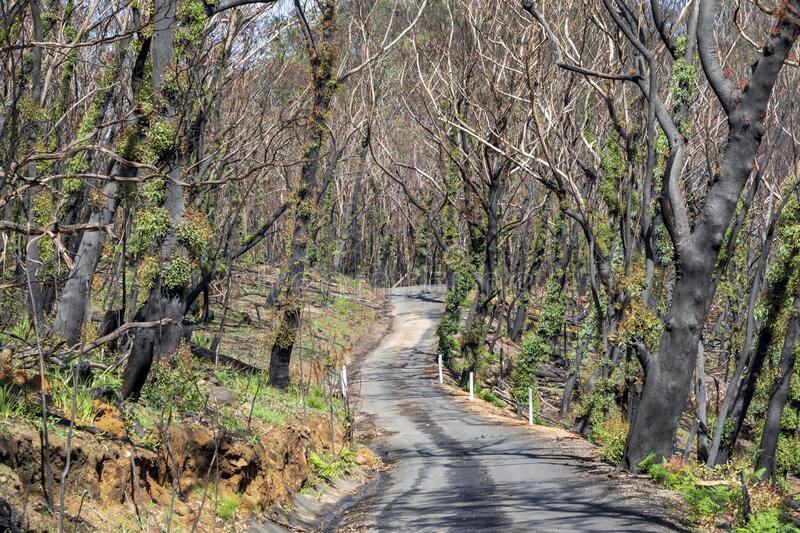 Trees regenerating in The Blue Mountains in Australia after the severe bush fires. Trees regenerating in The Blue Mountains in Australia after bush fires royalty free stock images