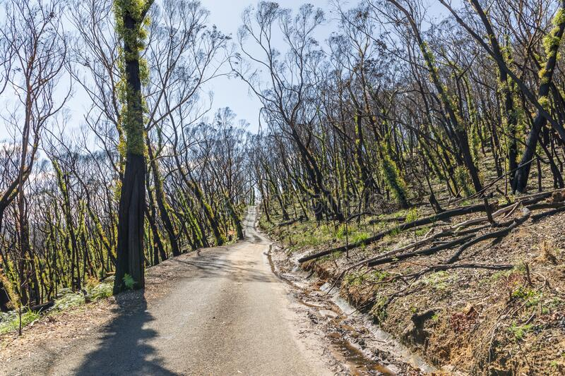 Trees regenerating in The Blue Mountains in Australia after the severe bush fires. Trees regenerating in The Blue Mountains in Australia after bush fires stock images