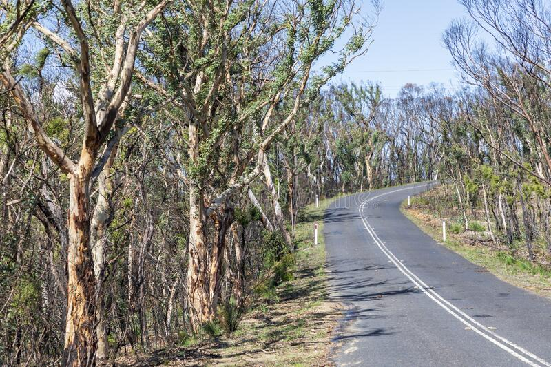 Trees regenerating in The Blue Mountains in Australia after the severe bush fires. Trees regenerating in The Blue Mountains in Australia after bush fires stock photos