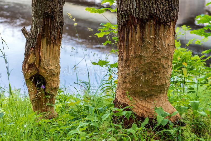 Trees by a river damaged by beavers royalty free stock images