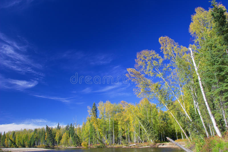 Trees on riverbank of Chena river. Near Chena Hot Springs with blue sky on sunny day royalty free stock photo
