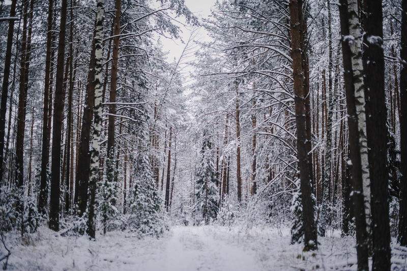 Trees and road in winter mixed forest. Winter landscape royalty free stock photo