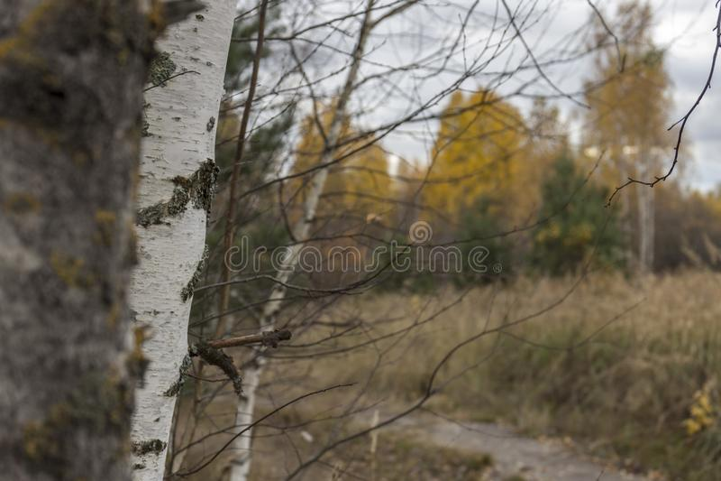 Trees on the roadside. In the autumn day royalty free stock image