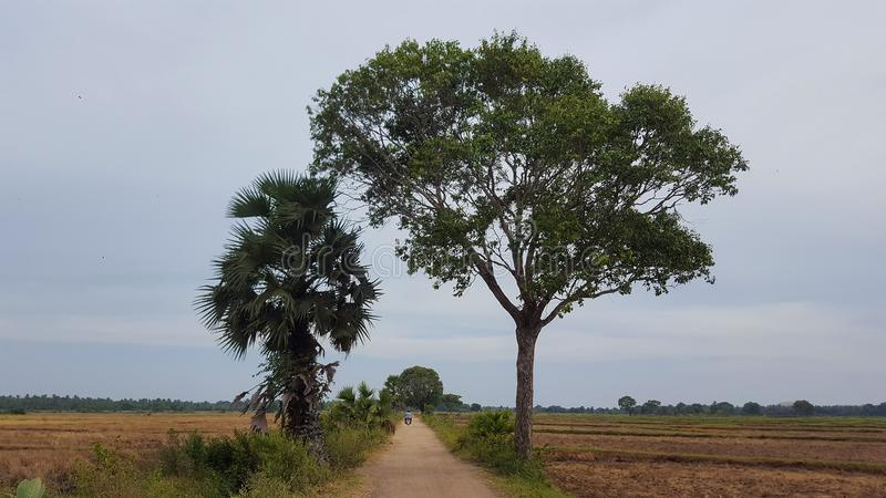 Trees by the roadside. In the dry country side of Uruthirapuram, in the district of Kilinochchi stock photography
