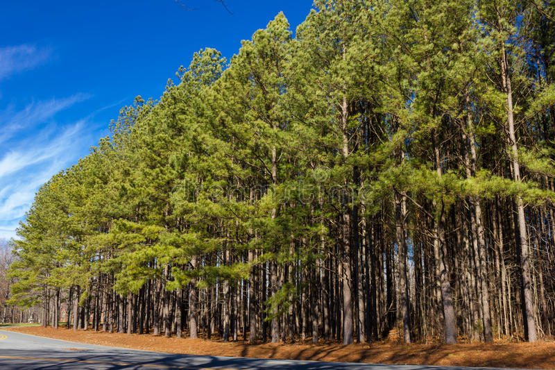 Trees on the Roadside. Pine trees on a roadside against blue sky royalty free stock image