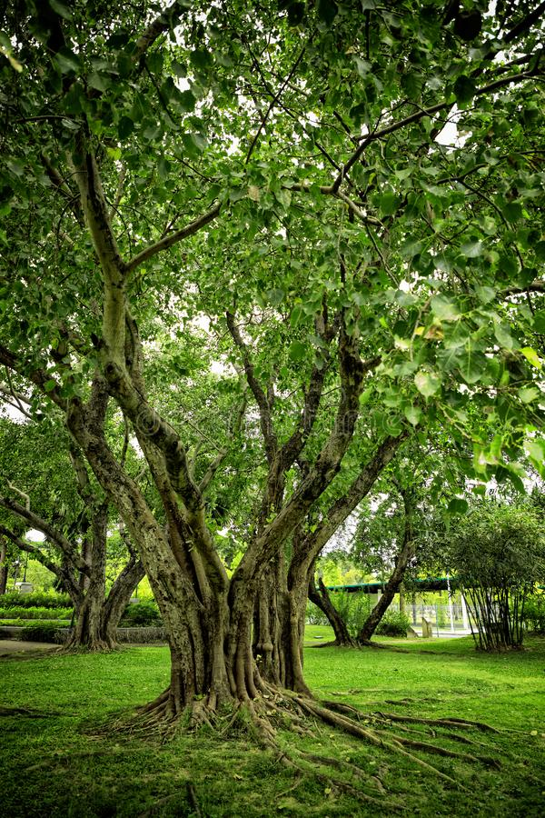 Trees and roots on green grass landscape of public park in Bangkok, Thailand royalty free stock photo