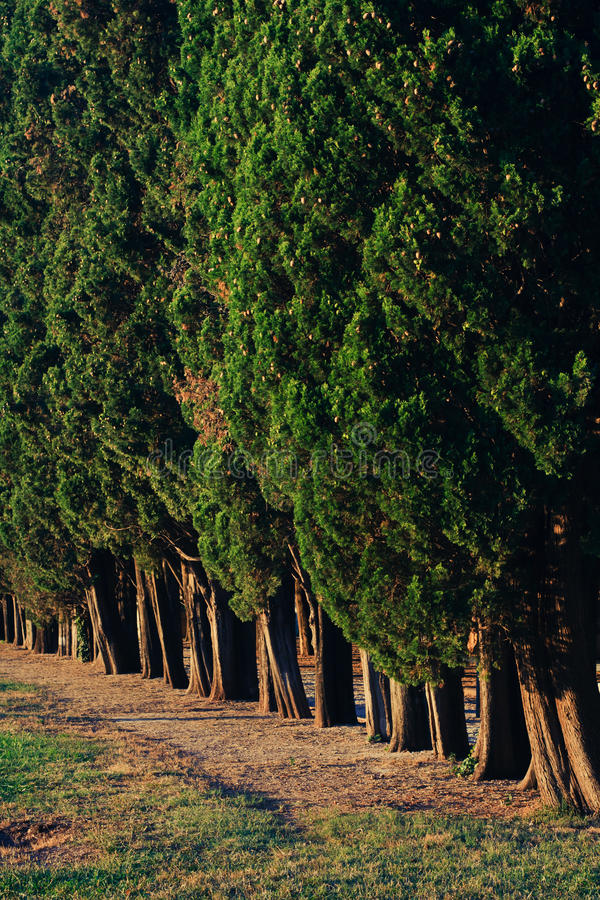 Trees Row Straight In The Evening Stock Photos