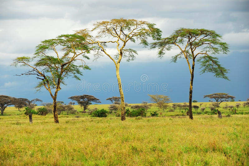 Trees in the savannah after rain royalty free stock image