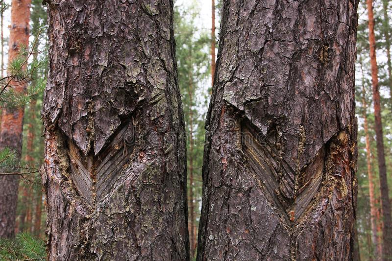 Trees with scars stock photos
