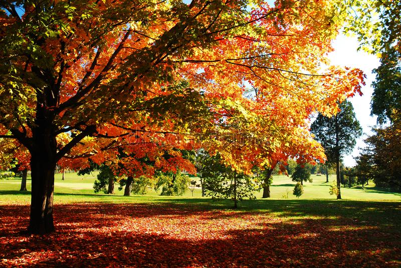 Trees shows a Brilliant Autumn Hue. Maple and oak Trees in a public park burst into Brilliant autumn colors royalty free stock image