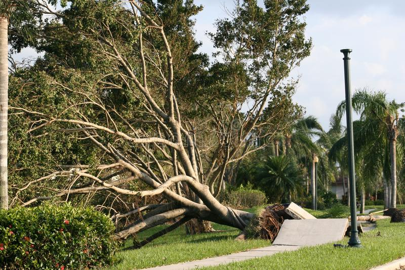 Trees and sidewalk are ripped up from Hurricane winds. stock photo