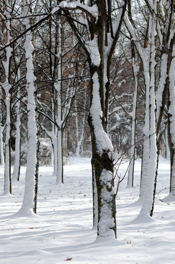 Trees in snow royalty free stock image