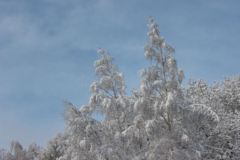 Trees with snow caps. Winter patterns. Frozen air. Blue sky under trees. Branches with snow. hoarfrost on the trees. Trees with snow caps. Winter patterns royalty free stock photo